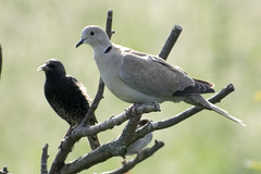 "collareddove • <a style=""font-size:0.8em;"" href=""http://www.flickr.com/photos/157241634@N04/42709631511/"" target=""_blank"">View on Flickr</a>"