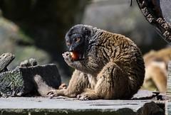 #lemur #Eyes #zoo #zoologico #fresa #fur #tail  #africa #lugo #españa #nikon #d500 #500mm (jesusenriqueaularrodrÍguez) Tags: zoologico fur africa eyes lugo tail españa lemur nikon 500mm fresa zoo d500