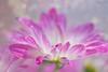 Lovely (Zara Calista) Tags: macro water drop droplet flower daisy purple bokeh blur light nikon d750 california winter february