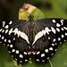 Papilio demodocus Esper