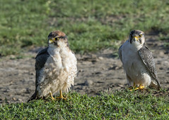 Lanner falcons (tmeallen) Tags: lannerfalcon falcobiarmicus greengrass rainyseason adult juvenile wildlife raptors safari ngorongorocrater ngorongorocaldera tanzania eastafrica