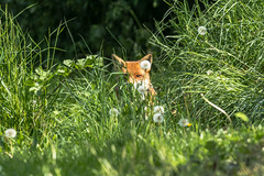 Red fox  (Vulpes vulpes) (Explored 11.06.2018) (Steven Whitehead) Tags: redfox red fox foxes nature feeding fur canon 2018 grass green woods 300mm canon1dx canon1dxmk2 f28