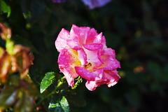 DSC_0226 (PeaTJay) Tags: nikond750 reading lowerearley berkshire macro micro closeups gardens outdoors nature flora fauna plants flowers rose roses rosebuds raindrops