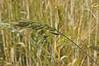 Getreide (petra.wruck) Tags: getreide cereals grain corn pflanzen pflanze plants plant macro makro