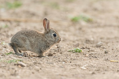 C'est décidé, je pars à l'aventure! (CycyM) Tags: animal lapin garenne nature sol profil mammifère hérault terre extérieur