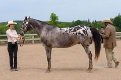 JBC_4865.jpg (Jim Babbage) Tags: krahc horseshow appaloosa horses 2018