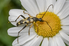 _IMG7835  Black and Yellow Longhorn Beetle  - Ruptela maculata (Pete.L .Hawkins Photography) Tags: black yellow longhorn beetle ruptela maculata petehawkins petelhawkinsphotography petelhawkins petehawkinsphotography pentax 100mm macro pentaxpictures pentaxk1 petehawkinsphotographycom fantasticnature fabulousnature incrediblenature naturephoto wildlifephoto wildlifephotographer naturesfinest unusualcreature naturewatcher insect invertebrate bug 6legs compound eyes creepy crawly uglybug bugeyes fly wings eye veins flyingbug flying shell elytra ground