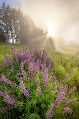 Redwoods, Fog and Lupine (optimalfocusphotography) Tags: sunburst spring landscape flowers nature nationalpark humboldtcounty clouds northerncalifornia sun wildflowers trees usa redwoods california sky fog redwoodnationalpark sunrise lupine mist