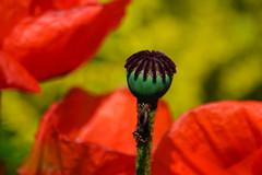 Garden poppy, Shakesperean Garden (Dave_A_2007) Tags: flower fruit nature plant poppy seed stratforduponavon warwickshire england