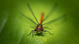 Large Red Damselfly - Close Up