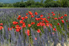 Spring in Provence (E.K.111) Tags: flowers red purple lavender provence nature spring bokeh canon5dmarkiv apt provencealpescôtedazur france fr