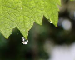 Spring Rain Bokeh (dsgetch) Tags: springrain bokeh raindrops grapeleaf grapevine raindrop droplet waterdroplet mybackyard depthoffield dof cascadia pacificnorthwest oregon willamettevalley eugene eugeneoregon