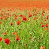 Poppy Field (fstop186) Tags: poppyfield poppies poppy field nature red green paper leaves wind