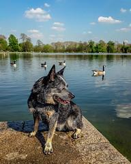 20180420-IMG_8595 It's a dog's life innit? (susi luard 2012) Tags: esslinger rupert gardens kensington london uk