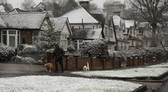 Can't Wait To Get Home (M C Smith) Tags: dog dogs snow snowing walking grass pavement houses buildings pentax k3 white sky grey branches trees green brown black walls fence trellis bushes driveway road kerb scaffolding aerial
