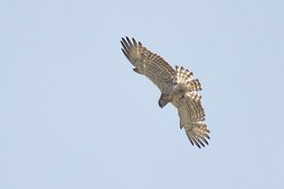 Short-toed Eagle Circaetus gallicus Samos Greece3