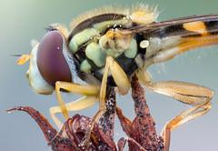 Hover Power (johnhallmen) Tags: olympusem1mkii laowa2528 zerenestacker syrphidae hoverfly insect macro