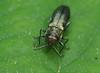 P5260002 green Jewel beetle (tobyjug5) Tags: macro closeup woodland london spring wildlife undergrowth brambles buprestidae metallic green