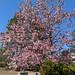 Blooming Pink Magnolia Backyard Estates Cary NC 121857