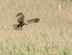 Marsh harrier Landing (ian._harris) Tags: nikon naturaleza nature sigma 500mmf45 d7200 naturephotography natural fowlmere may