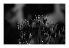"""""""Au Clair De Lune... Les Débutantes Font le Pied-De-Grue..."""" (The Blue Water Lily's Company) Tags: fdrouet nature nb bw monochrome monochrom nikon d90"""