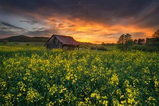 golden canola field sunset