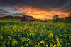 golden canola field sunset (Alexander Lauterbach Photography) Tags: hessen nordhessen deutschland germany zierenberg rapsfeld canola field yellow orange golden landscape landschaft sony a7rii nature