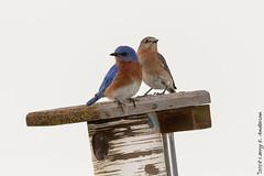 Courtship (Larry E. Anderson) Tags: camdenstatepark easternbluebird minnesota sialiasialis bird highkey passeriformes passerines seasons songbirds spring