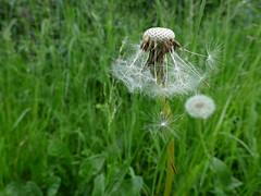 Dandelion Clock (LouisaHocking) Tags: wild nature flora british seeds dandelion clock grass
