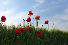 Up To The Sky (ivlys) Tags: odenwald rohrbach mohnblume poppy rot red hummel bumblebee insekt insect gras grass himmel sky blau blue wolke cloud weis white natur nature ivlys
