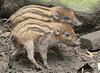 visayan warthog Blijdorp BB2A7448 (j.a.kok) Tags: zwijn warthog hog visayawrattenzwijn visayanwarthog wrattenzwijn blijdorp animal asia azie mammal zoogdier dier