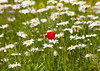 London Meadows @ SE21 (Adam Swaine) Tags: meadows londonmeadows englishmeadows flora flowers wildflowers dulwichpark londonparks naturelovers nature seasons summer daisies commonpoppy beautiful england english britain british fourseasons uk rural london 2018 canon