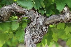 Saint-Jean-de-Ceyrargues - Cep (Myrelingot) Tags: gard saintjeandeceyrargues vigne cep