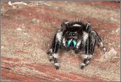 Jumping Spider 7602 (maguire33@verizon.net) Tags: extensiontube jumpingspider macro macroringflash ringflash spider wildlife phidippusaudax