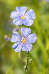 Flax (mclcbooks) Tags: flower flowers floral macro closeup flax blossoms spring denverbotanicgardens colorado