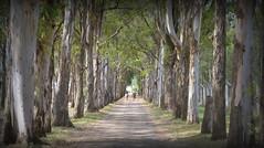 Jaguarão-RS, Brasil (Eduardo Amorim) Tags: estrada ruta road route strada strase jaguarão pampa campanha fronteira riograndedosul brésil brasil brazil sudamérica südamerika suramérica américadosul southamerica amériquedusud americameridionale américadelsur americadelsud eduardoamorim árvore arbol tree arbre albero baum árvores arboles trees arbres alberi bäume