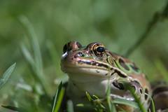 Grenouille léopard/Leopard Frog -15295 (michel paquin2011) Tags: rouge grenouille léopard île saint bernard amphibien