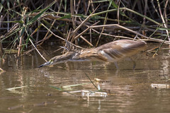 Squacco heron (Ardea ralloides) Ralreiger (Ron Winkler nature) Tags: squacco heron ardearalloides ardea ralloides ralreiger bird birds birdwatching birding aves israel eilat desert animal wildlife nature canon 7dii 100400ii