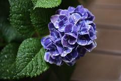 IMG_6486 (digitalbear) Tags: rainy season june nakano tokyo japan canon eos6d sigma 70mm f28 kamisori dg macro art rain drops flowers