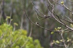 20180602-0I7A5808 (siddharthx) Tags: 7dmkii ananthagiri ananthagiriforest ananthagiriforestrange bird birdwatching birding birdsinthewild birdsofindia birdsoftelangana canon canon7dmkii cottoncarrierg3 ef100400f4556isii ef100400mmf4556lisiiusm forest goldenhour jungle landscape monsoon muddy nature rain rains telangana tree trees vikarabad wet wild wildbirds wildlife burgupalle india in longtailedshrike shrike baybackedshrike rufousbackedshrike