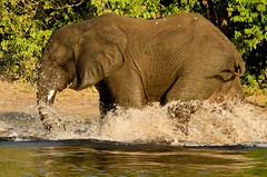 A game of 'tag' in the water (lyn.f) Tags: elephant loxodontaafricana choberiver botswana water