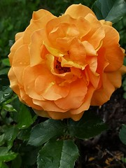 Rose (lasser.bernd) Tags: rose blühen blüte farbe flowernatur botanik gitschtal huaweip20pro smartphonecamera europeeuropa eu garten orange flicker fluer