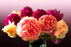 Gartengruß (uschmidt2283) Tags: garten blumen macro sonyilce7rm3 frühling farben color pfingstrosen