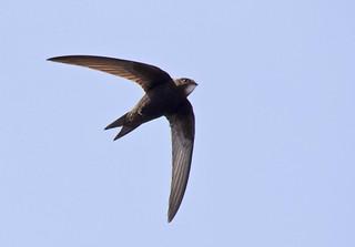 Swift - Aerial Acrobat (In Explore 11/6/18)