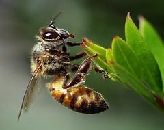 Ant encounter  .. (Hannah 0013) Tags: bee ant canon macro instects garden coth5 ngc npc