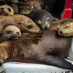 Pile o' California Sea Lions (Zalophus californianus) on a buoy thumbnail