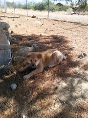 Chewin' on a pinecone. She's growing so fast. (Tikigirl) Tags: dog akita puppy pinecone