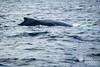 Humpback Whale_Megaptera novaeangliae (AZORES EXPERIENCES) Tags: whalewhatchingwhale dolphine turtle azores açores island sea ocean nature freedom wildintothewildsailor atlanticocean faial faialisland azoresislands spermawhale carettacaretta dephinus bluewhaletail whaletail bluewhale finwhale grampo risso rosssdolphin