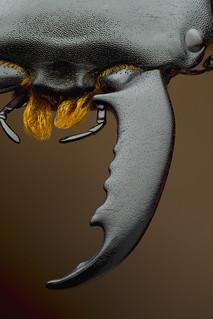 Serrognathus titanus mandible