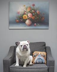 Imitating Art (dog ma) Tags: tank tanky dog ma english bulldog 6yearsold dogma jodytrappephotography nikon d750 nikkkor 50mm pet portait indoors